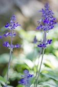 stock photo of blue-salvia  - Blue Salvia  - JPG