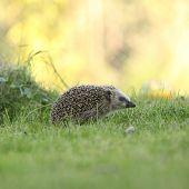 Little Hedgehog Looking