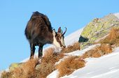Chamois Eating