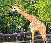 Giraffe Standing In A Zoo.