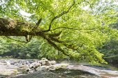 stock photo of oblique  - Large painted maple view from an oblique and gentle river in early summer - JPG