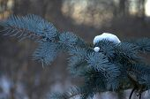 Blue Spruce With Snow