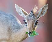 pic of antelope horn  - Kirk Dik - JPG