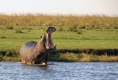 Hippo standing in river in Chobe National Park, Botswana, Africa