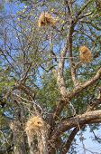 Nests on the tree in South Luangwa National Park, Zambia, Africa
