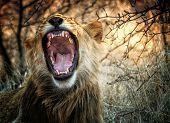 Lion yawning in Zimbabwe, Africa