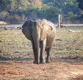 Elephant in South Luangwa National Park, Zambia, Africa