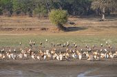 Panorama of landscape with flamingos in South Luangwa National Park, Zambia, Africa