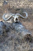 Animal skull in South Luangwa National Park, Zambia, Africa