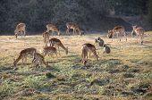 Springboks grazing in South Luangwa National Park, Zambia, Africa