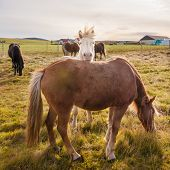 image of iceland farm  - Beautiful Icelandic horses on green fields, Iceland