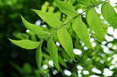 Neem Leaves - medicinal Plant