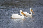 stock photo of winnebago  - Two American White Pelican swimming in Lake Winnebago Wisconsin.