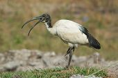 A Sacred Ibis (threskiornis Aethiopicus) With Mouth Open Standing On One Leg