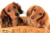 Two dachshund puppies in a basket. I asked them if they wanted a treat, and these are the faces they