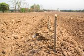 stock photo of cassava  - Start planting the cassava on farm field - JPG