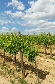 picture of tokay wine  - Beautiful landscape in the Tokay grapes  - JPG