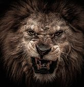 picture of african lion  - Close - JPG