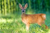 Roe deer - bambi