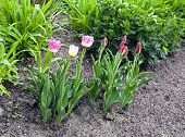 Many Red And Pink Tulips