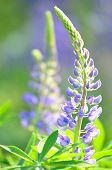 beautiful lupine flowers on a meadow