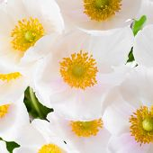Spring Flowers Of Anemone Sylvestris (snowdrop Anemone),  Abstract Flowers Background, Closeup