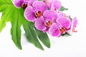 Beautiful Spa Concept Of Blooming Branch Stripped Violet Orchid (phalaenopsis ) On The Big Green Lea