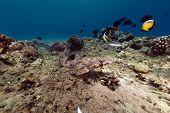 Crocodilefish The Red Sea.