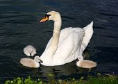 White Swan Cygnets With Mother In The Water