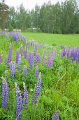 Flowering Lupine On The Roadside