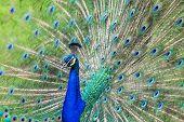 Beautiful Peacock Tail