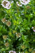Winter Savory Plant
