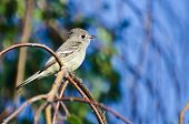 Gray Flycatcher Perched On A Branch In A Tree