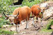 Wild Cattle Eating Grass