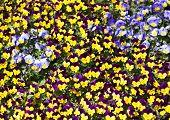 Viola Tricolor Pansy