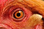 Chicken Eye Close-up