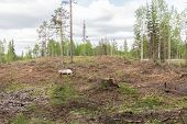 Reindeer In A Deforestation Area Grazes