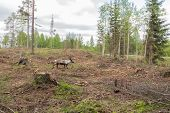 Reindeer In A Deforestation Area Runs For The Escape Road