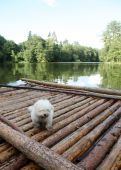 Dog on a raft