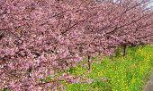 Cerejeiras em Kawazu