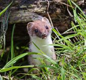picture of ermine  - Stoat  - JPG
