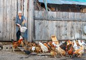 picture of cockerels  - farmer woman with a bucket of feed poultry chickens and geese - JPG