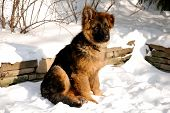 German Shepherd Puppy On The Snow