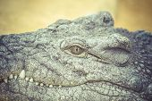 crocodile resting with eye details