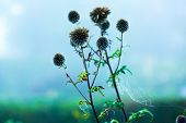burdock plant early misty morning