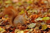 Red Squirrel Standing With Hazelnut  On Colorful Leafs
