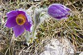 Flower And Crocus Bud