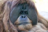 Orangutan at San Diego Zoo