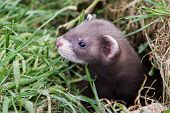 Polecat Kit