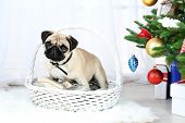 Funny, cute and playful pug dog on white carpet near Christmas tree on light background